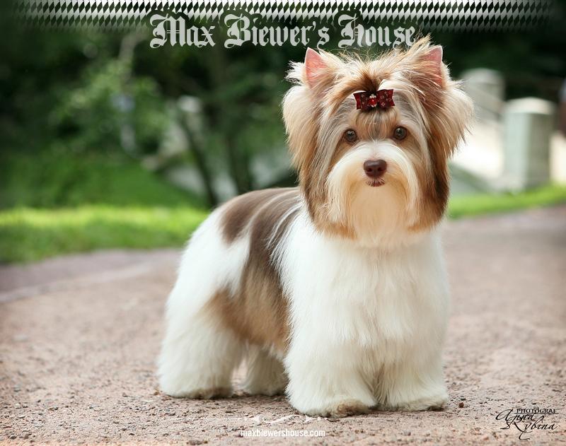 Biro Yorkshire Terrier Standart